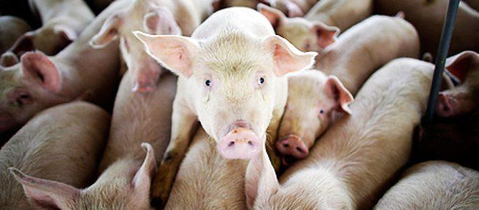 В Ида-Вирумаа ветеринарно-пищевой департамент проверяет свинофермы