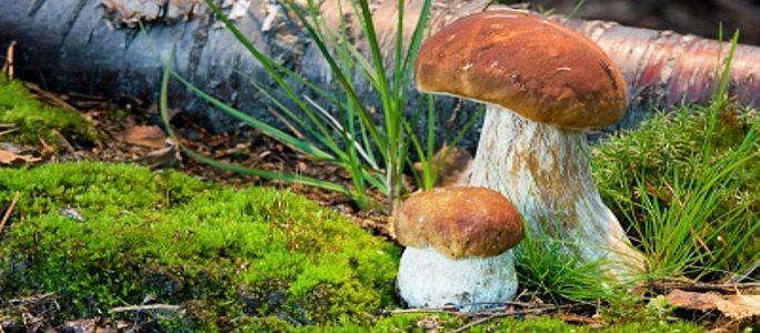 Как вырастить лесные грибы на дачном участке?