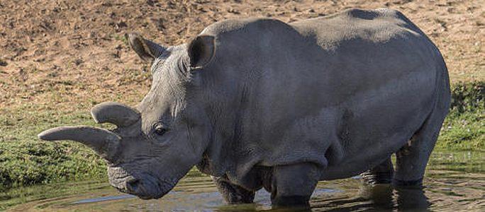 Скончался последний самец северного белого носорога