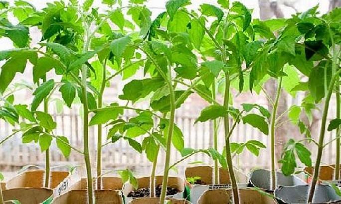 Рассада томатов - правильное выращивание и высадка в грунт