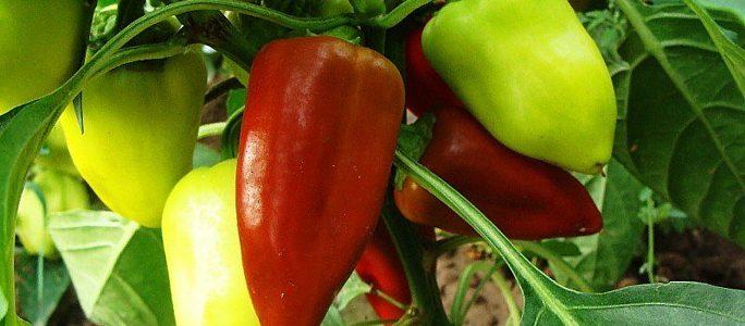 Как вырастить дома хорошую рассаду перца