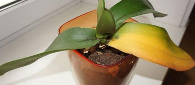 Почему листья желтеют и опадают у орхидеи