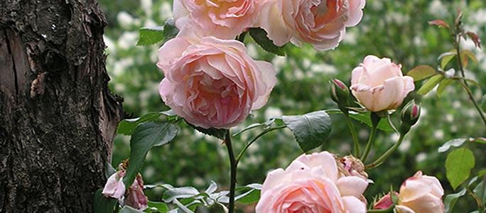 Один из секретов успеха при выращивании роз