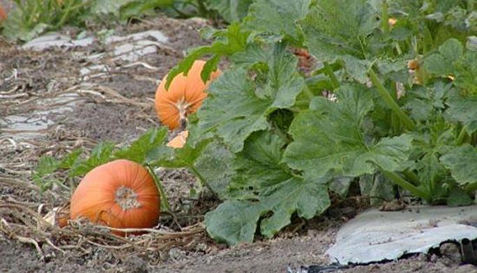 Выращивание тыквы и уход за ней на огороде