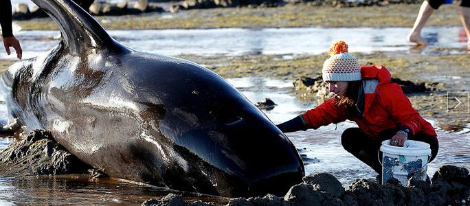 Более 400 дельфинов выбросились на берег в Новой Зеландии