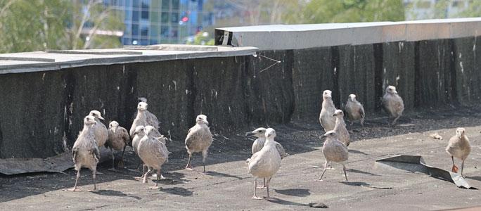 Нарвские КТ пытаются бороться с чайками