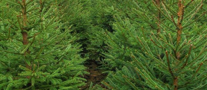 Рождественскую елку в государственном лесу можно срубить и в этом году самому