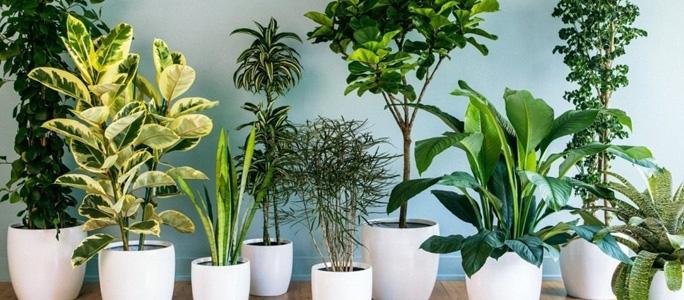 Чем опасны комнатные растения