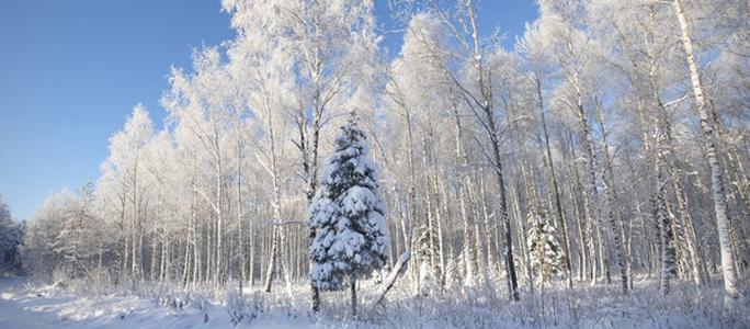 Рождественский квест: как самому добыть ёлочку в лесу