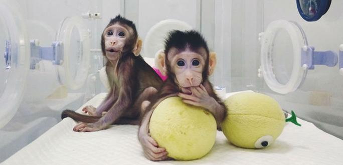 +Видео. Китайские ученные первыми клонировали обезьян
