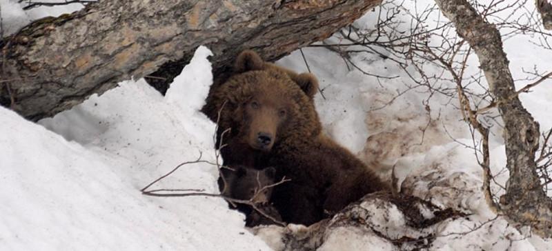 Медведи просыпаются от зимней спячки