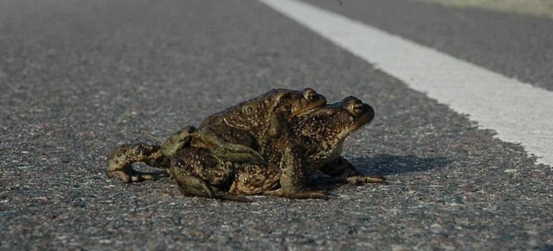 Добровольцы в рамках акции спасли 14 700 лягушек