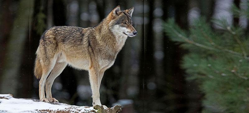 Национальным зверем Эстонии выбрали волка