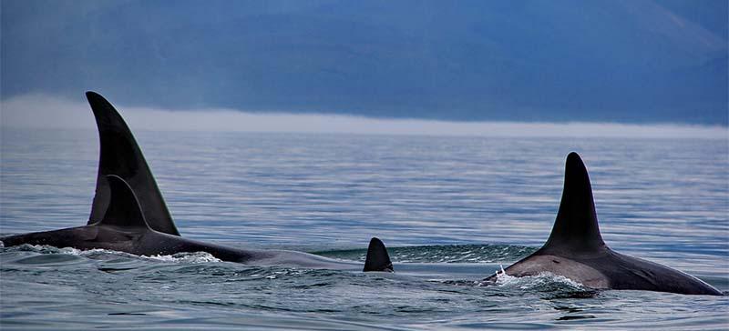Редкая охота десятков косаток на горбатых китов попала на видео