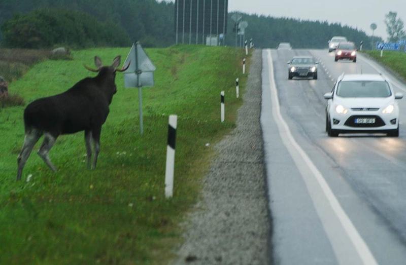 Посмотрите, где и когда есть наибольшая вероятность наехать на лесное животное
