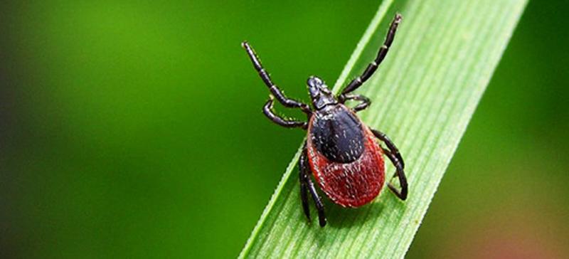 Аптекарь предупреждает: клещ может прятаться и в траве домашнего сада — защити себя от клещевого энцефалита!