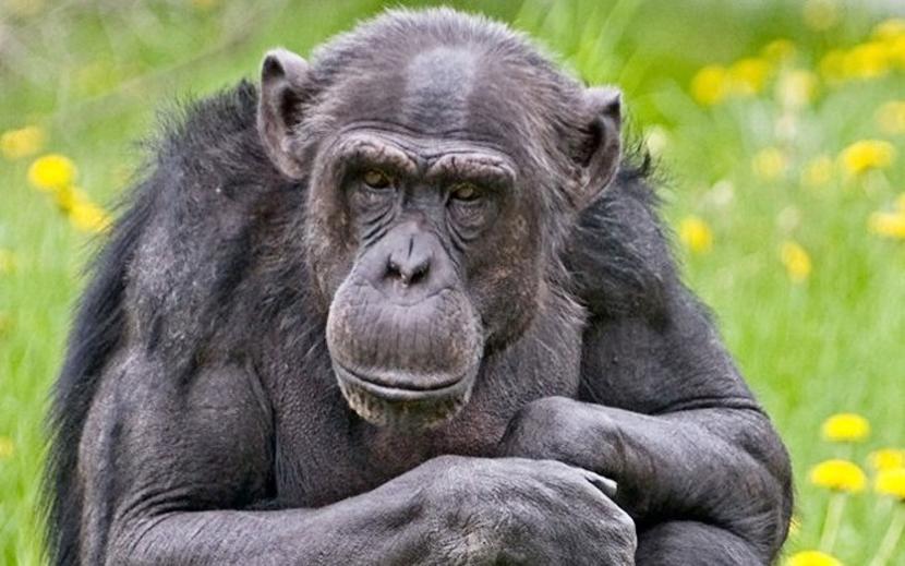 В Таллиннском зоопарке умер 32-летний шимпанзе Пино