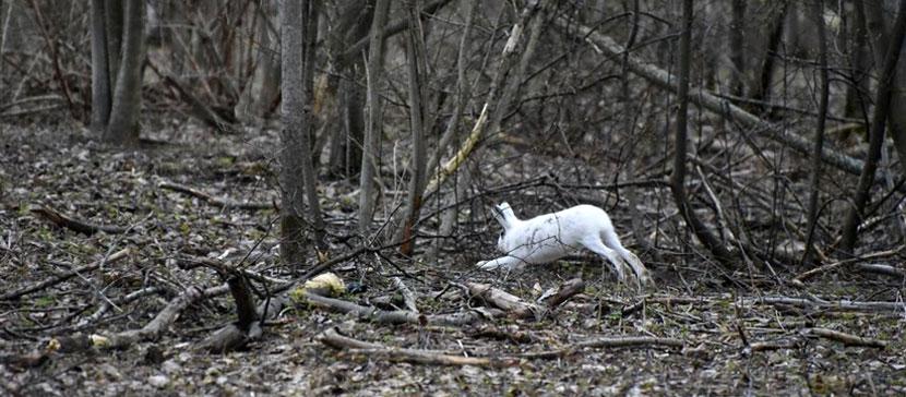 Зайчиков жалко! Многие животные страдают от последствий теплой зимы, но некоторые ей очень рады