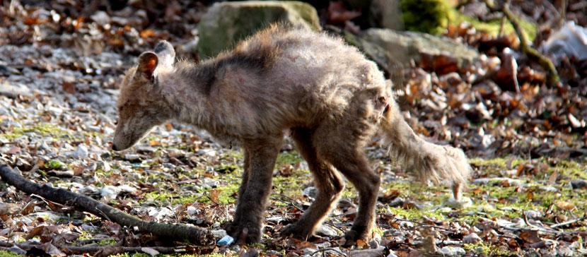 В Нарве на территории заброшенного здания поселилась облезлая лиса