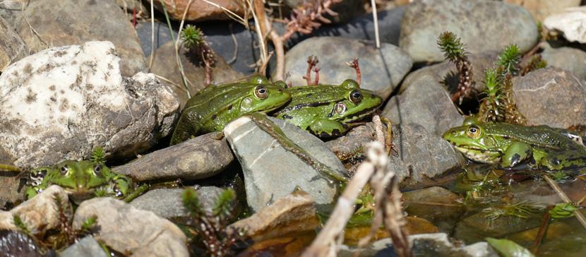 Добровольцы спасли почти 22 000 жаб, лягушек и тритонов