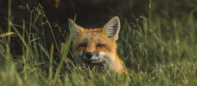 На острове Хийумаа обнаружена заболевшая чумой собак лисица